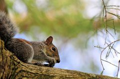 Squirrel eating nut on tree branch Royalty Free Stock Images