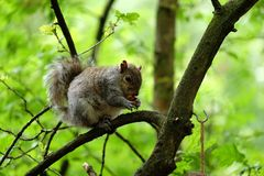 Squirrel Eating a Nut in a Tree Stock Photography