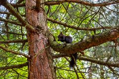 Squirrel eating nut on the tree. Dark squirrel with a nut Stock Images