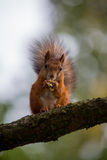 Squirrel eating a nut on a tree royalty free stock photography
