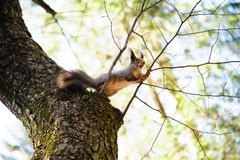Squirrel eating nut on the tree. Stock Images
