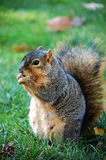 Squirrel eating nut - vertical left Stock Photography