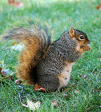 Squirrel eating nut - vertical right Royalty Free Stock Photography