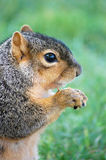 Squirrel eating nut - vertical right close up Royalty Free Stock Photography