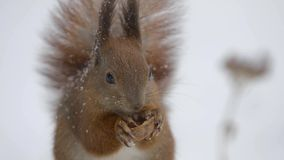 Squirrel eating a nut in winter stock video