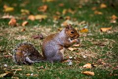 Squirrel eating nuts royalty free stock images