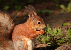 A squirrel Royalty Free Stock Photos