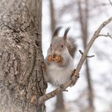 Squirrel eating nuts, ridiculous sitting in a tree royalty free stock image