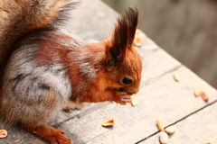 Squirrel eating nuts on the bench Royalty Free Stock Photo