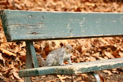 Squirrel eating nuts on the bench Royalty Free Stock Images