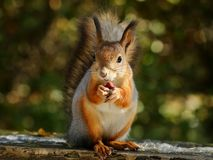 Squirrel eating nuts. On the bench royalty free stock photography