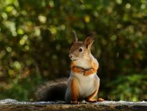 Squirrel eating nuts. On the bench royalty free stock photo