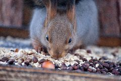 Squirrel eating nuts Stock Image