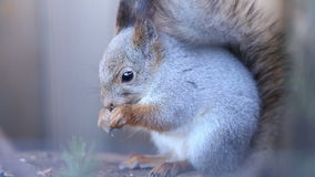 Squirrel eating nuts stock footage