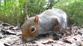 Squirrel eating nuts stock video footage