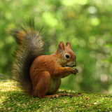 Squirrel eating nuts. In green forest royalty free stock image