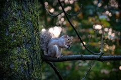 Squirrel eating nuts. Grey squirrel eating nuts on a tree, Park of Monza, Italy royalty free stock photography