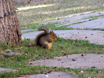 Squirrel eating nuts on the ground. A squirrel is eating nuts under a tree. This rodent has sensitive whiskers and sharp vision Royalty Free Stock Photography