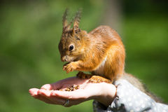 Squirrel Eating Nuts from Hand Stock Photos