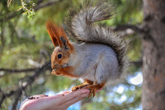 Squirrel eating nuts hand Stock Images