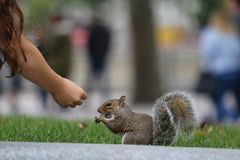 Squirrel eating nuts. Squirrel eating a lot of nuts and peanut autumn Stock Photography