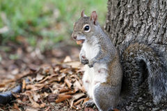 Squirrel eating nuts near a tree. Squirrel eating nuts outdoors near a tree Royalty Free Stock Photos