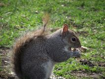 Squirrel eating nuts. In the park - close up royalty free stock photography