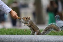 Squirrel eating nuts. And peanut Royalty Free Stock Photos