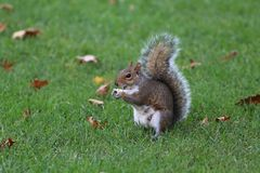 Squirrel eating nuts. And peanut autumn Royalty Free Stock Image