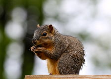 Squirrel eating nuts Stock Photos
