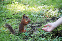 Squirrel eating nuts Royalty Free Stock Photos
