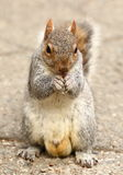 Squirrel eating nuts Royalty Free Stock Photography
