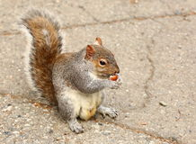 Squirrel eating nuts Stock Images