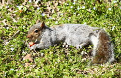 Squirrel eating nuts Royalty Free Stock Photo