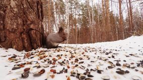 Squirrel Eating Nuts and Seeds. Small animal life in the winter forest stock video footage