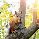 Squirrel eating nuts Royalty Free Stock Image