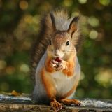 Squirrel eating nuts. On the bench royalty free stock images