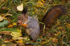 A squirrel eating nuts. In the forest in autumn on the grass royalty free stock photography