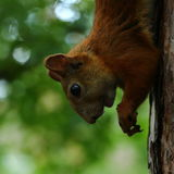 Squirrel eating nuts. On a tree stock photography