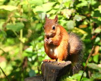 Squirrel eating nuts. On a stump royalty free stock photos