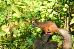 Squirrel eating nuts. On a stump stock photography