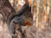 Squirrel eating nuts. Squirrel on a tree eating nuts stock photo