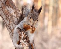 Squirrel eating nuts. Squirrel on a tree eating nuts stock photos