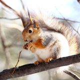 Squirrel eating nuts. Squirrel on a tree eating nuts stock photography