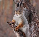 Squirrel eating nuts. Squirrel on a tree eating nuts royalty free stock images