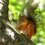 Squirrel eating nuts. On tree royalty free stock photo