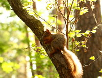 Squirrel eating  nuts on a tree Royalty Free Stock Photography
