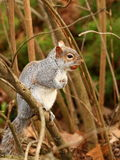 Squirrel eating nuts on a tree Royalty Free Stock Images