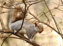 Squirrel eating nuts on a tree Stock Photography