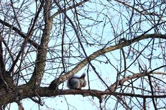 Squirrel eating nuts on a tree. Squirrel eating nuts in winter forest stock images